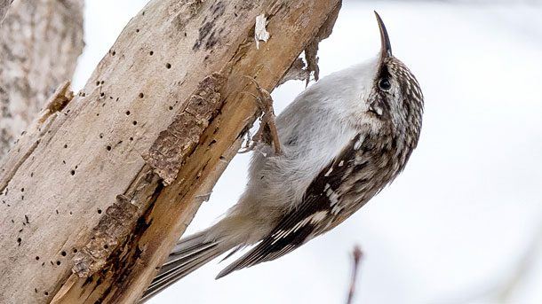 Brown Creepers have song on the higher end of frequency spectrum, but it is still usually in the range of human hearing. Photo by Sue Barth via Birdshare.