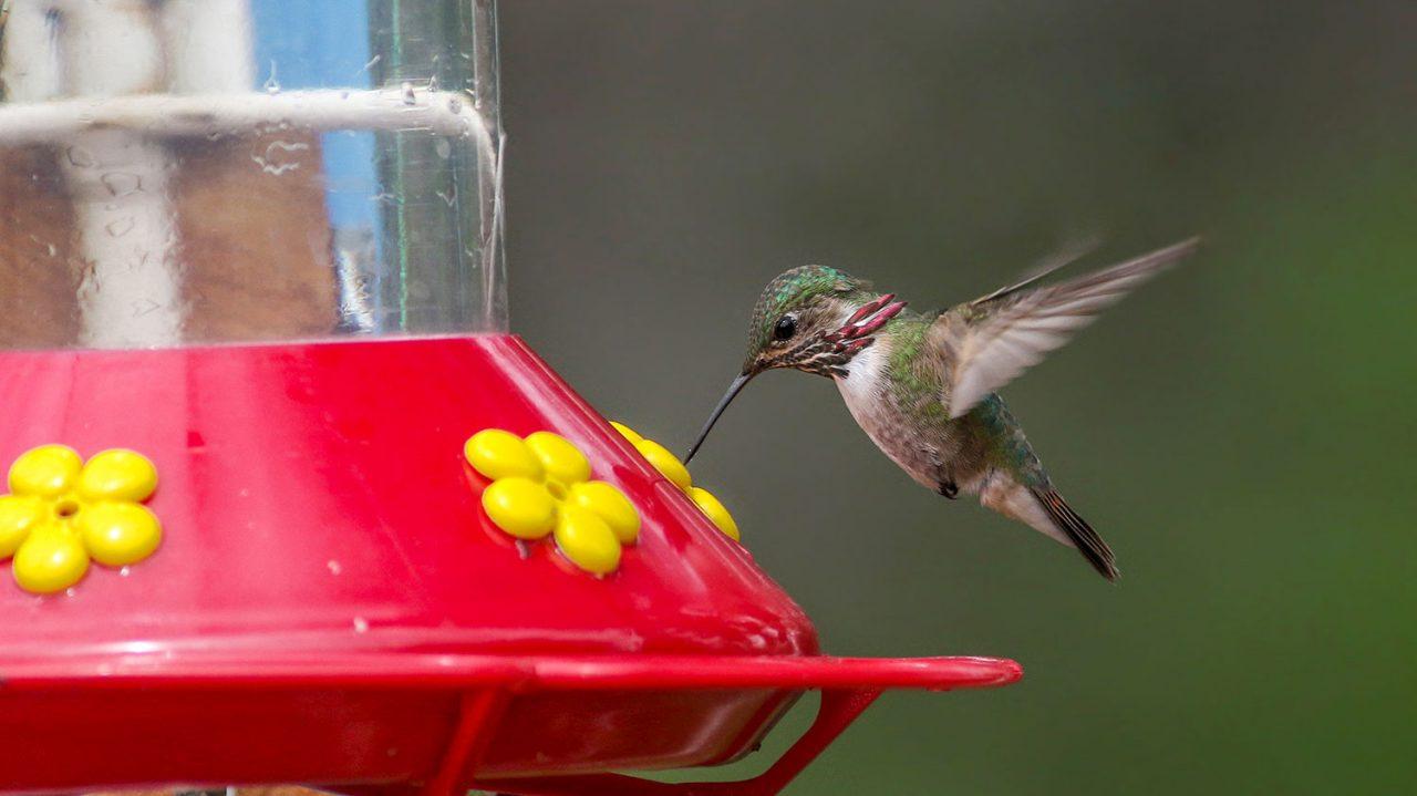 Calliope Hummingbird by Joshua Glant/Macaulay Library 104647011