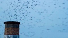 Vaux Swifts exit a chimney at dusk. Photo by Janice L via Birdshare.