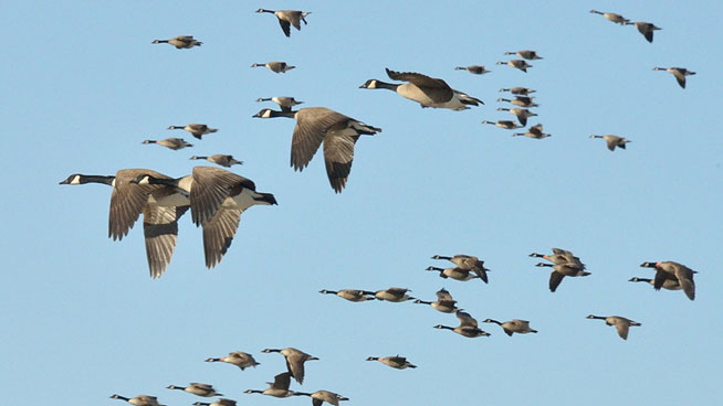 Canada Geese migrate south in winter and north in summer, but their travels may take a few detours along the way. Photo by Jean Ange via Birdshare.