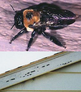 An adult carpenter bee and woodpecker damage due to foraging for carpenter bee larva on fascia boards of a house.