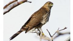 If a hawk takes up residence in your yard, like this Cooper