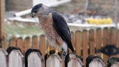 A hawk has started hunting the feeder birds in my yard. What can I do?