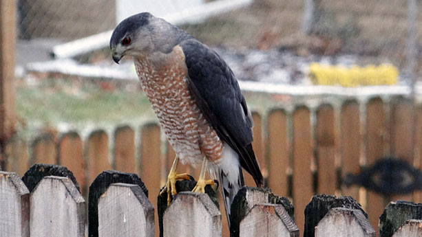 Just as birdseed attracts small birds, those birds may attract hawks like this Cooper