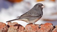 No matter how common or how rare, all native North American birds are protected under the Migratory Bird Treaty Act. Pictured is a Dark-eyed Junco, one of the hundreds of bird species protected by the treaty. Photo by Kris Petersen via Birdshare.