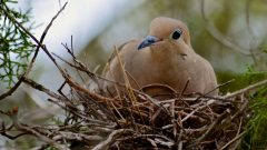 A Mourning Dove incubates her eggs. Photo by Steven Bach via Birdshare.