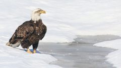 How can Bald Eagles survive in northern areas after all the lakes have frozen?