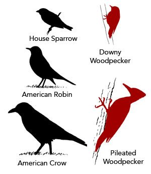 comparative sizes of birds