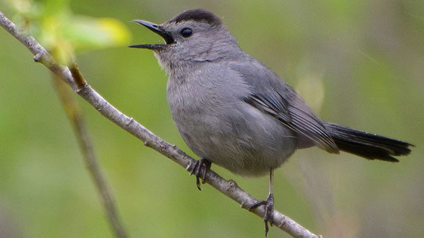 Along with Northern Mockingbirds, Gray Catbirds are well-known North American mimics. Photo by Jim via Birdshare.