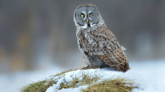 How can an owl catch a mouse underneath a foot of snow in total darkness?