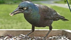 Grackles and blackbirds are usually not a long-term problem overtaking feeders, as they tend to visit for a short window of time and then move on. Photo by Bob Vuxinic via Birdshare.