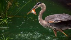 How do I keep herons from eating the fish in my pond?