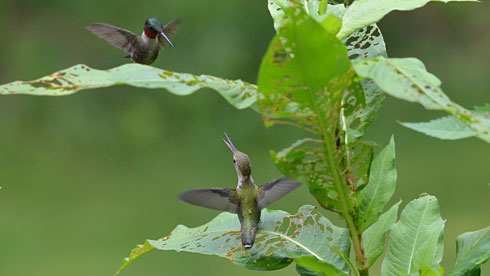 Hummingbirds can be fiercely territorial. Here a male Ruby-throated Hummingbird tries to chase away a juvenile. Photo by Deborah Bifulco via Birdshare.
