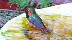 hummingbird in bird bath