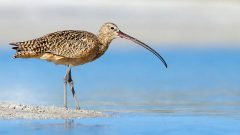 Whatever you chose to call it, this Long-billed Curlew has one impressive bill...or beak. Photo by Gregory Gard via Birdshare.