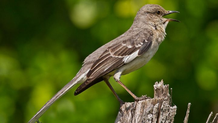 Northern Mockingbirds are one of the best mimics in North America. Photo by Lindell Dillon via Birdshare.
