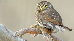 The anatomy of a bird's gizzard depends on the foot that it eats. Here, a Northern Pygmy-Owl with its Meadow vole prey. Photo by Tim J. Hopwood via Birdshare.