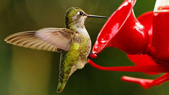 Homemade hummingbird nectar is easy to make. Photo by Hui Sim via Birdshare.