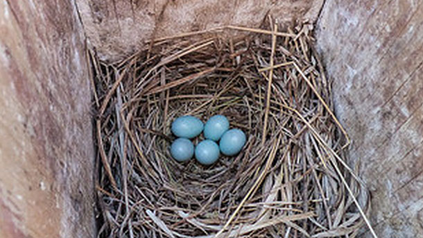 It S A Good Idea To Clean Out Your Nest Box Once The Young Birds Have Fledged Photo Of Mountain Bluebird Eggs By Anne Elliott Via Birdshare