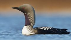 Loons, like this Pacific Loon, will chase each other during territorial disputes. Photo by Glenn Bartley via Birdshare.