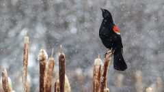 Red-winged Blackbirds are one of the first species to return to their northern breeding grounds. Photo by Anne Elliott via Birdshare.