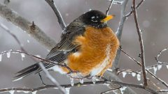 As long as there is food available, American Robins may stay north in cold climates. Photo by Chuck Porter via Birdshare.
