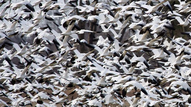 Enormous flocks of Snow Geese form during migration, yet thanks to almost a 6th sense individuals do not collide. Photo by Ray Hennessy via Birdshare.