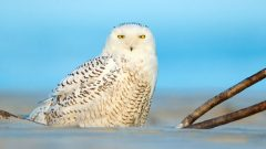 How long do wintering Snowy Owls stay with us before they return to their breeding grounds?