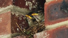 House Sparrow nestlings in their nest tucked into a brick wall. Photo by Billtacular via Birdshare.