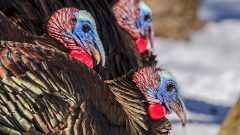 Where did the domestic turkey come from?