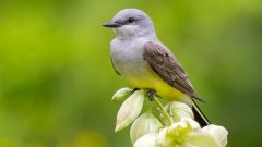 Western Kingbird by Hogan James via Birdshare.