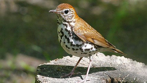 """Birds like the Wood Thrush winter in areas that have been deforested and turned into coffee plantations. Is drinking """"shade-grown"""" coffee enough to protect their habitat? Photo by Enola-Gay via Birdshare."""