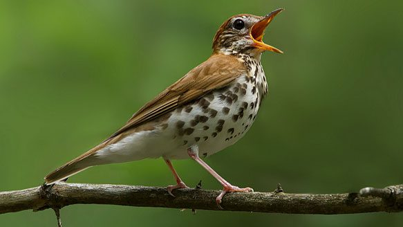 Many people think that the Wood Thrush has the most beautiful song in North America. Photo by Corey Hayes via Birdshare.