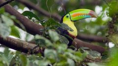 Keel-billed Toucan by king of newts