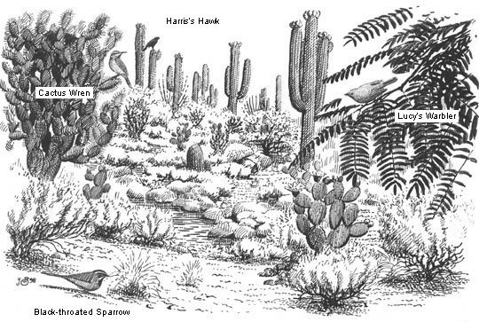 sketch of sonoran desert habitat and birds