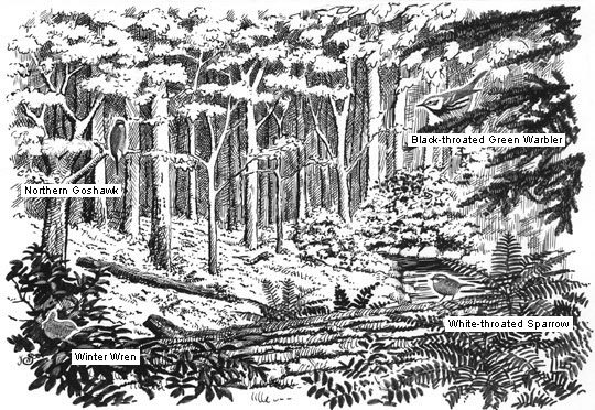sketch of mixed forest habitat and birds