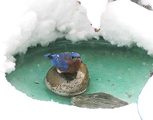 bluebird at snowy icy birdbath