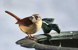 carolina wren at birdbath