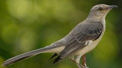 Listen to the Mockingbird: A Study of Complex Song and Climate