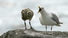 Gull with chick