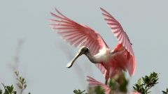 Roseate Spoonbills are extravagantly pink, from crustaceans they sift from the mud