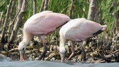 Louisiana report: Oiled mangroves and the birds within (slideshow)