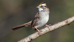 eBird animated occurrence map white-throated sparrow