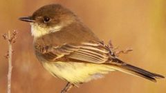 Confusing Flycatchers? Use Migration Timing to Your Advantage!