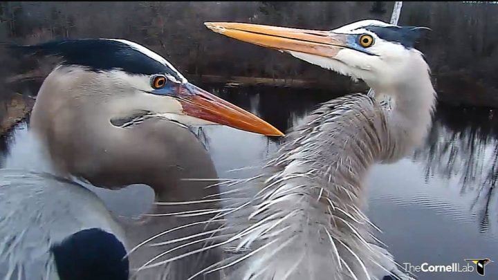 Bird Cams FAQ: Great Blue Heron Nest | All About Birds