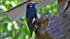 Can Woodpecker Deterrents Safeguard My House?
