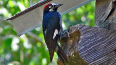Acorn Woodpecker by Larry Meade via Birdshare.