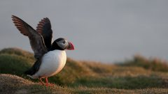 Puffins on Westman Islands in iceland