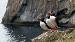 Peek Into a Puffin Burrow in Iceland [sounds and video]