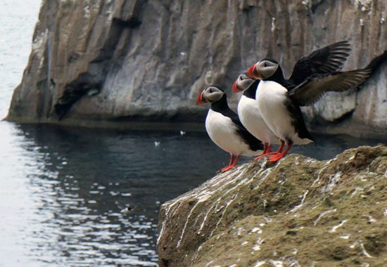 scientists look into a puffin burrow on Iceland